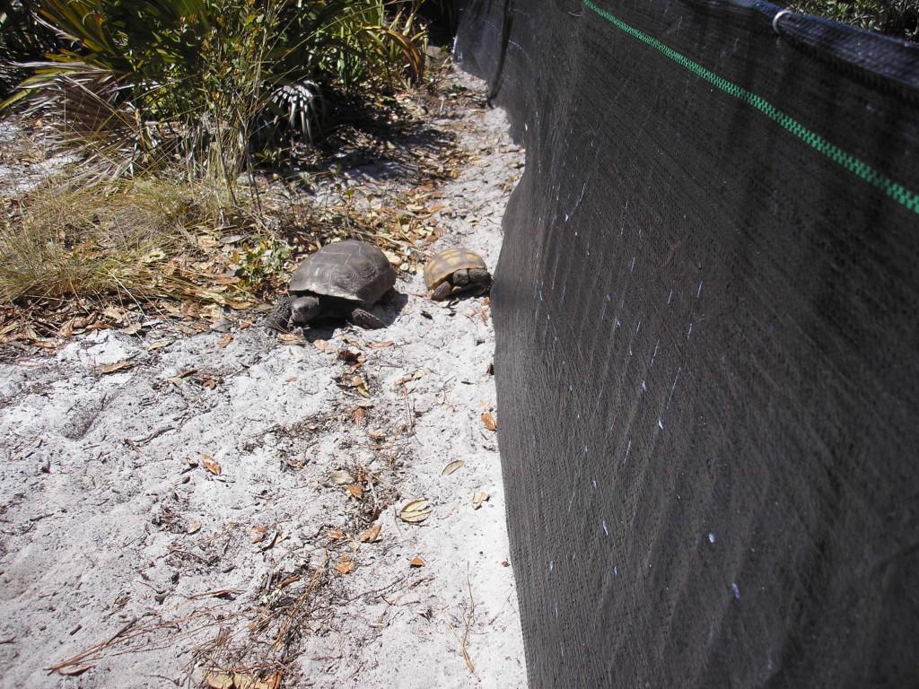 An adult and juvenile gopher tortoise.
